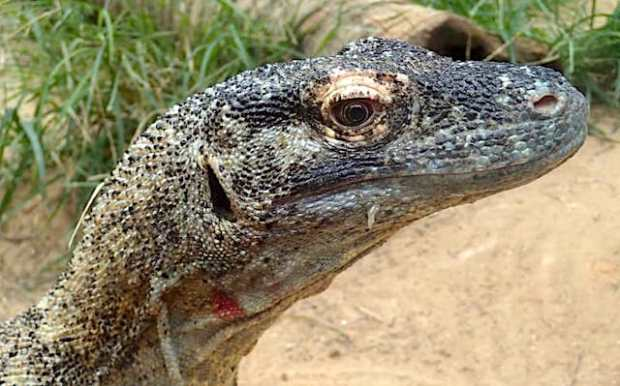Not only is the Komodo dragon's mouth full of razor-sharp teeth, but it contains bacteria that eventually poison any prey that gets away(Credit: Kent Vliet)