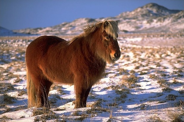 They still eat horse in Iceland, but it's not especially popular. Tillea/CC BY-SA 3.0