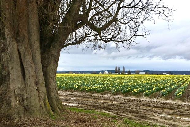daffodil-skagit-lrg