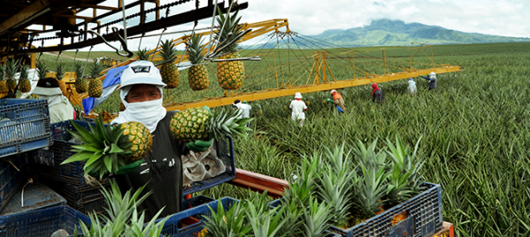 Dole-Philippines-Pineapple-Plantation.png