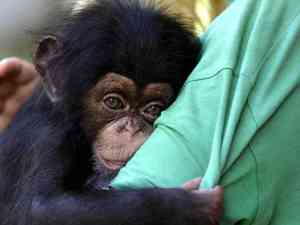 A baby chimpanzee clings to a zookeeper in the Netherlands. A US court has ruled apes do not have the same legal rights as humans. Photograph: Thanassis Stavrakis/AP