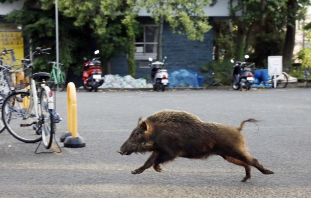 A wild boar runs through the grounds of a Kyoto University dormitory area in the western Japanese city of Kyoto on June 13, 2017. (Kyodo News/Getty Images)
